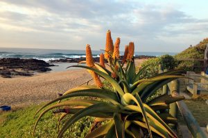 Aloes at Tweni Beach